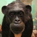 チェリー日本初の人工保育チンパンジー育て親!亀井一成さんの苦労とは!?